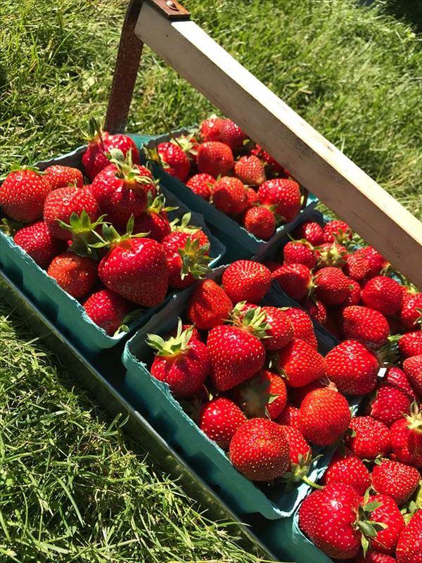 Huhn Strawberry Farm Michigan Farm Fun
