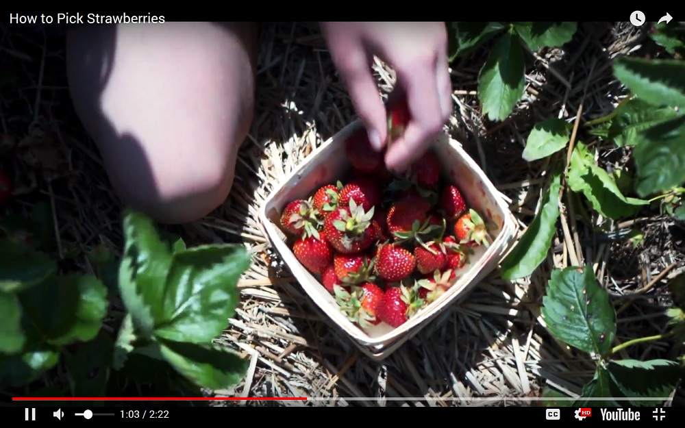 Screen Capture of Strawberry Picking Video showing strawberries in a basket